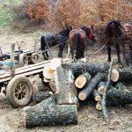 Tăiere ilegală şi furt de material lemnos